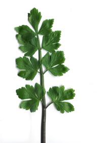 Des vertus des plantes par Macer Floridus, 1832 65zobagt