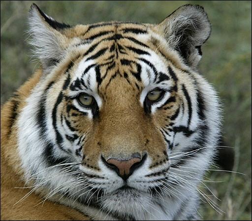 Tigre de bengale centerblog - Image tete de tigre ...
